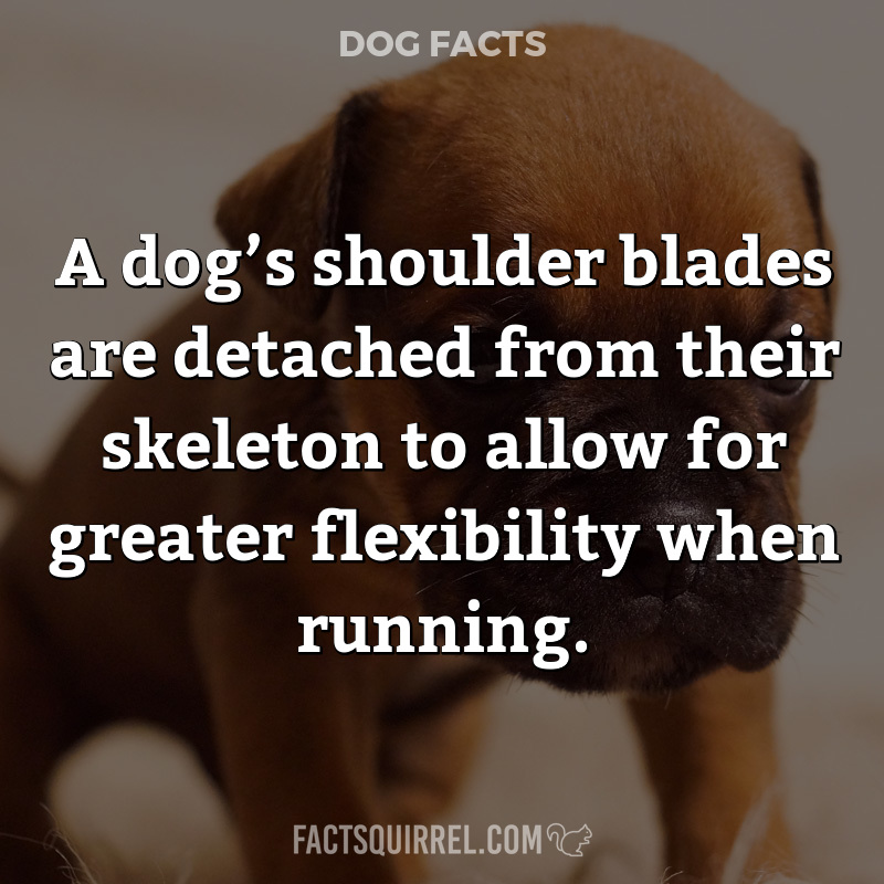A dog's shoulder blades are detached from their skeleton to allow for