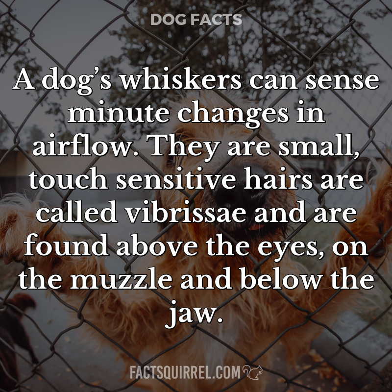 A dog's whiskers can sense minute changes in airflow. They are small,