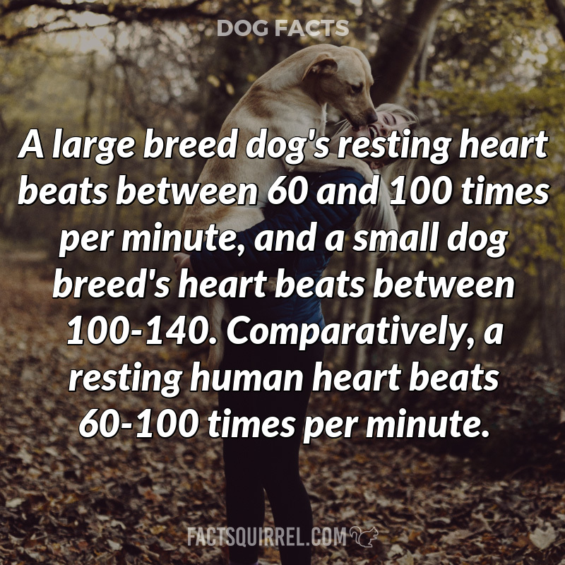 A large breed dog's resting heart beats between 60 and 100 times per