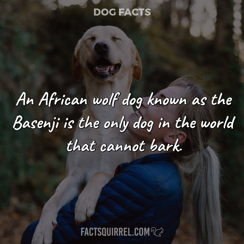 An African wolf dog known as the Basenji is the only dog in the world