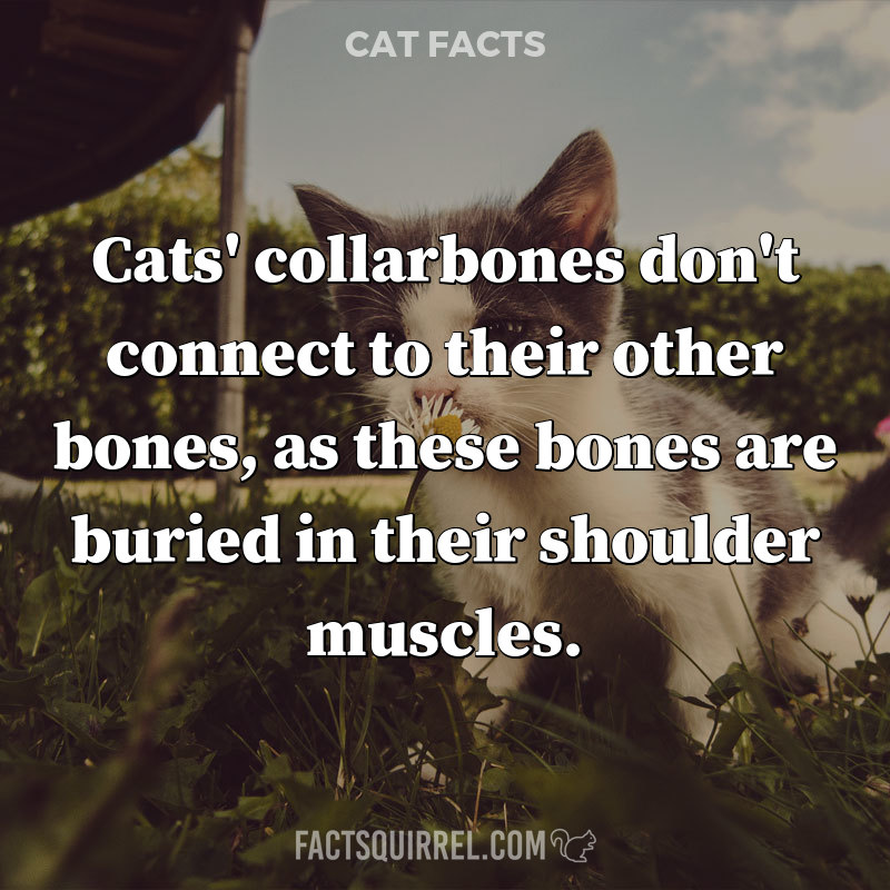 Cats' collarbones don't connect to their other bones, as these bones are