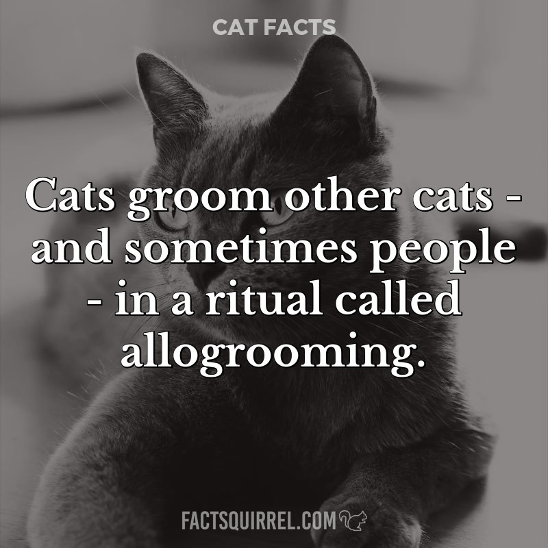 Cats groom other cats – and sometimes people – in a ritual called