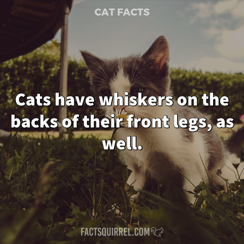 Cats have whiskers on the backs of their front legs, as well