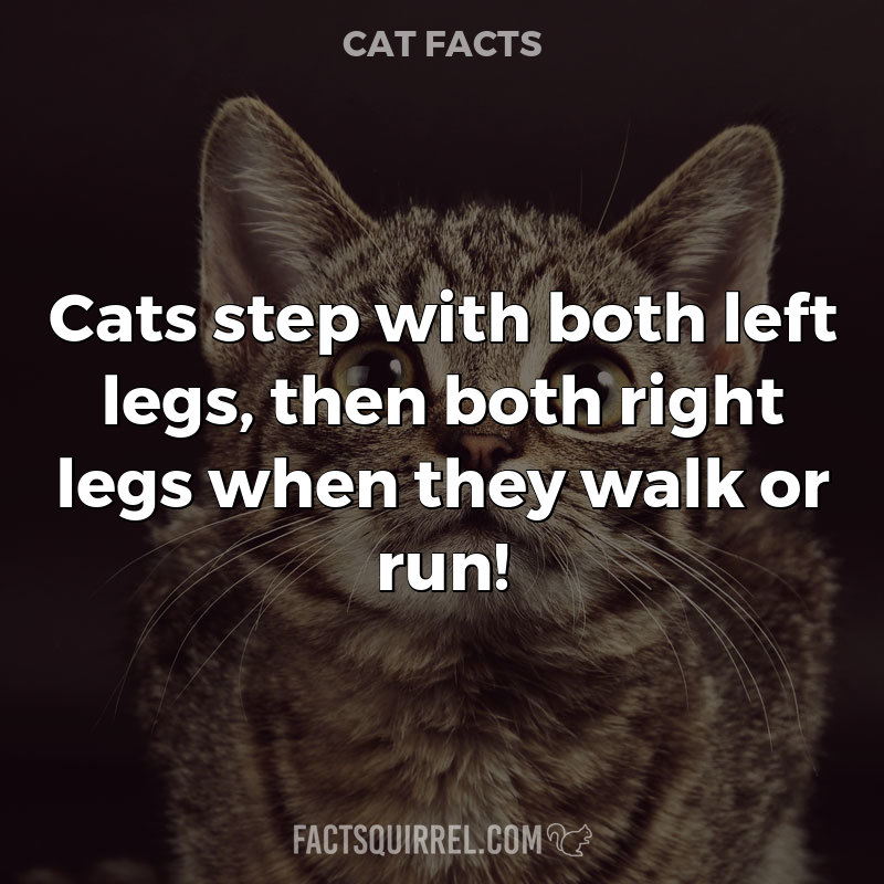 Cats step with both left legs, then both right legs when they walk or