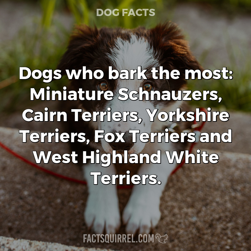 Dogs who bark the most: Miniature Schnauzers, Cairn Terriers, Yorkshire