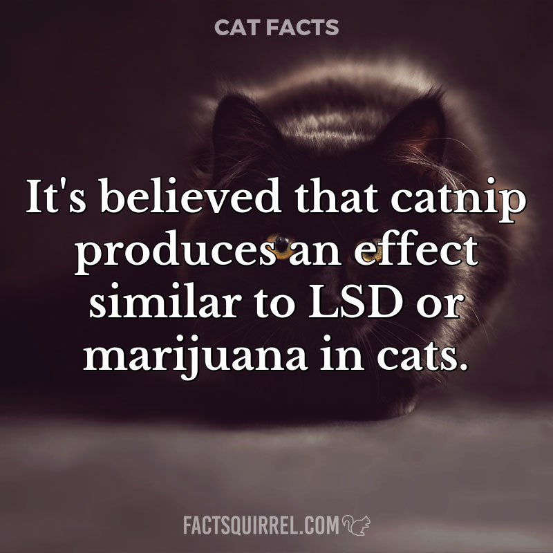 It's believed that catnip produces an effect similar to LSD or marijuana