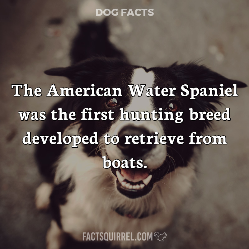 The American Water Spaniel was the first hunting breed developed to