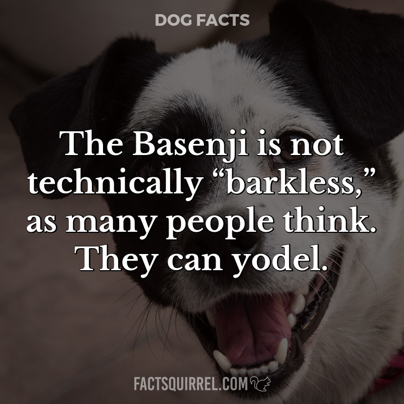 """The Basenji is not technically """"barkless,"""" as many people think."""