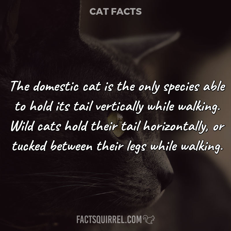 The domestic cat is the only species able to hold its tail vertically