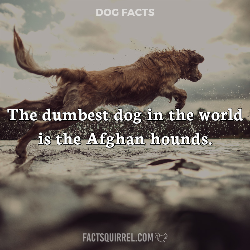 The dumbest dog in the world is the Afghan hounds