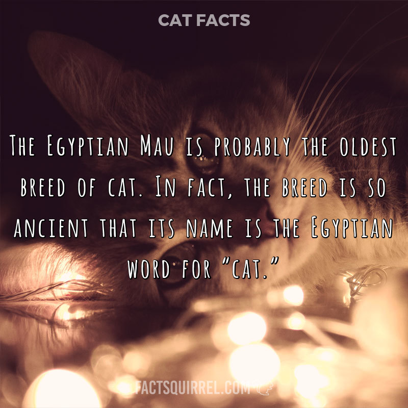 The Egyptian Mau is probably the oldest breed of cat. In fact, the breed