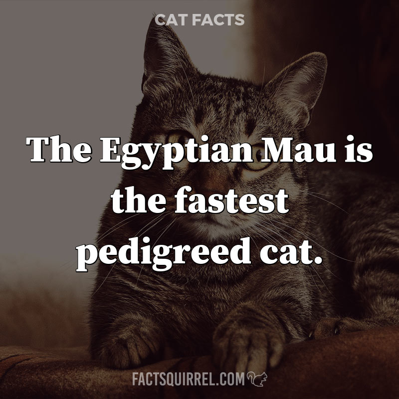 The Egyptian Mau is the fastest pedigreed cat