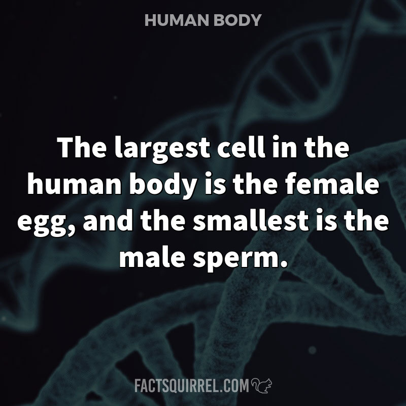 The largest cell in the human body is the female egg, and the smallest