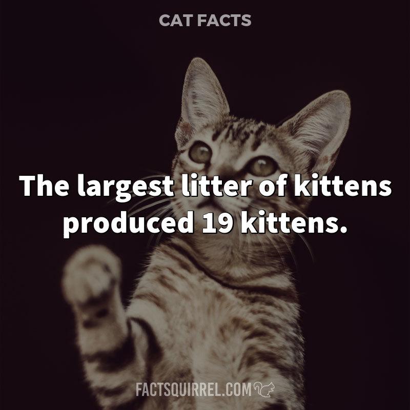The largest litter of kittens produced 19 kittens