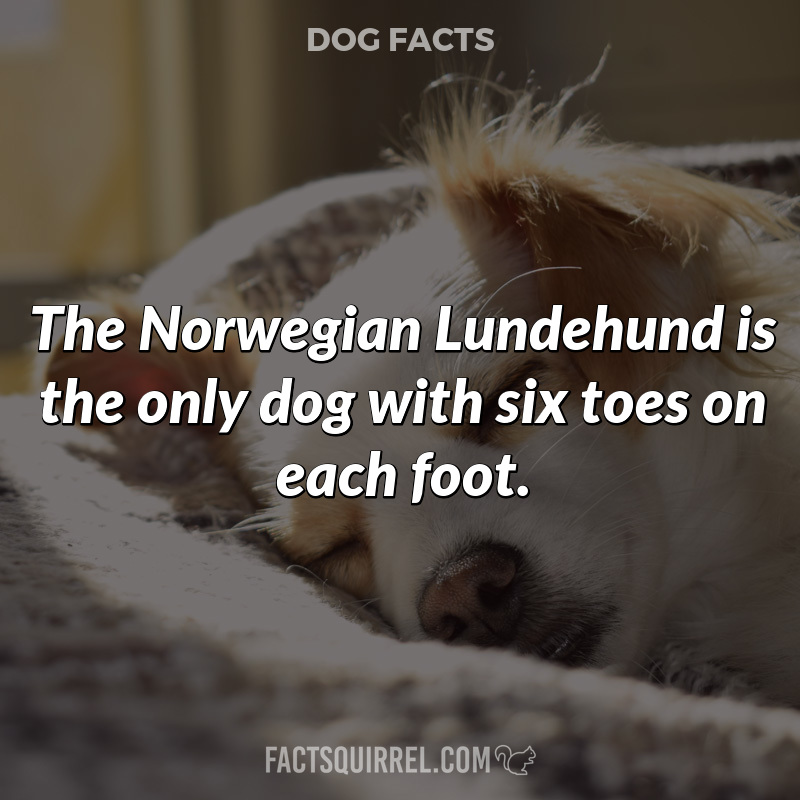 The Norwegian Lundehund is the only dog with six toes on each foot