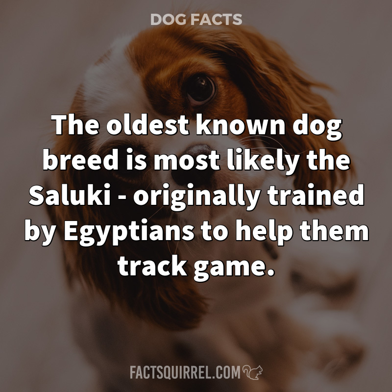 The oldest known dog breed is most likely the Saluki – originally
