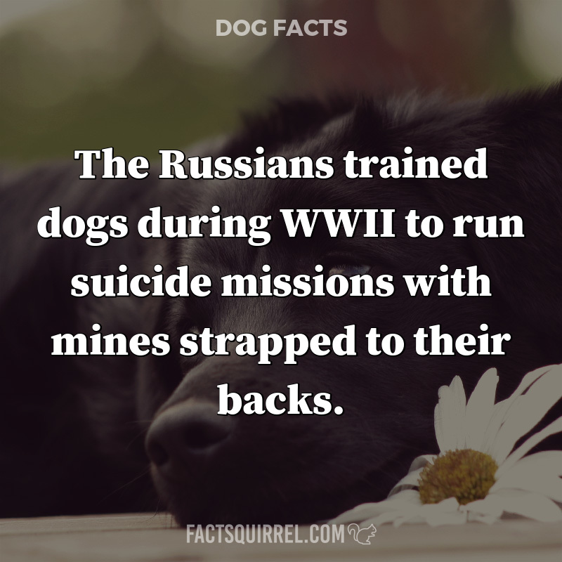 The Russians trained dogs during WWII to run suicide missions with mines