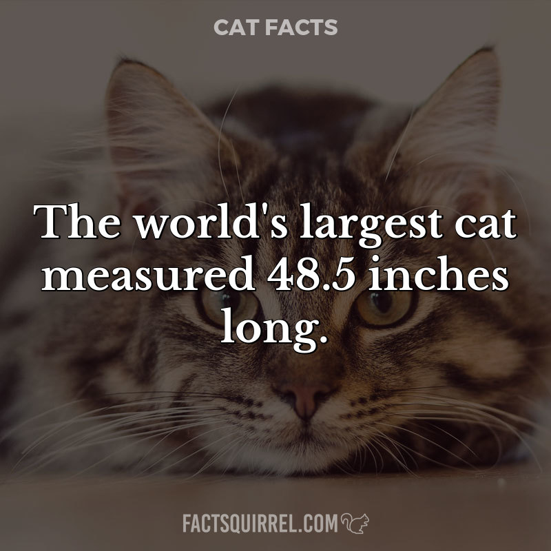 The world's largest cat measured 48.5 inches long