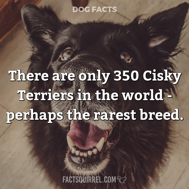There are only 350 Cisky Terriers in the world – perhaps the rarest