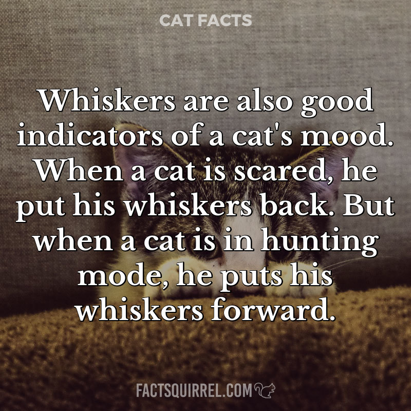 Whiskers are also good indicators of a cat's mood. When a cat is scared,